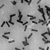 Pegylated gold nanorods